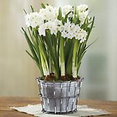 Paperwhites Plant Gift
