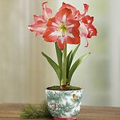 Minerva Amaryllis Plant Gift