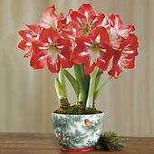 Minerva Amaryllis Plant Gift Triple